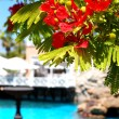 Stock Photo: Flame tree with red flowers (Delonix regia) near swimming pool a