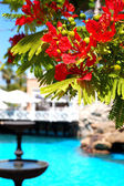 Flame tree with red flowers (Delonix regia) near swimming pool a — Stock Photo