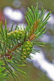 Green pine branch with cones — Stock Photo