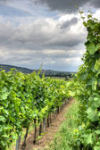 Alsace landscape and vinewyard — Stock Photo