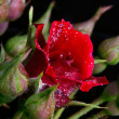 Red rose and buds — Stock Photo #18727521