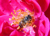 Bee on the dog-rose flower — Stock Photo