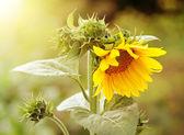 Sunflower in garden — Stock Photo