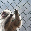 Stock Photo: Snow monkey gripping wire mesh fence