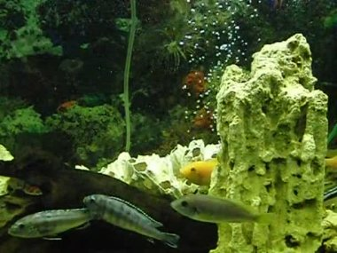 The underwater world of African cichlids — Stock Video