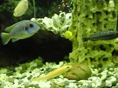 Red catfish and cichlids — Stock Video