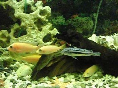 Aquarium with African herbivorous fish — Stock Video