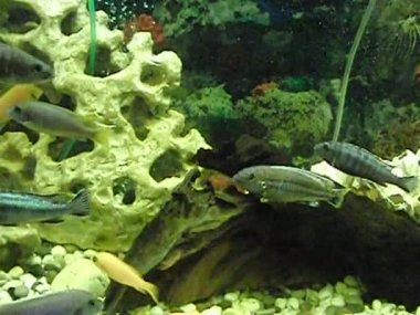 Playful fish in an aquarium — Stock Video