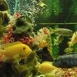 Stock Video: Floating herbivorous cichlids