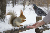Squirrel eating from hand — Stock Photo