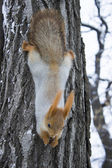 Squirrel on a tree — Stockfoto