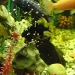 Herbivorous fishes floating — Stock Video