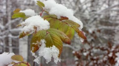 Leaf under first snow. — Stok video