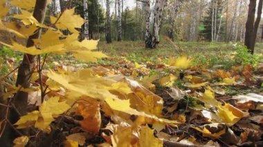 Autumn tree. — Stock Video