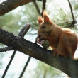 Squirrel in a tree. — Stock Video
