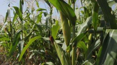 Campo di grano. — Video Stock