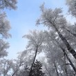 Snow winter trees. — Stock Video