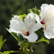 Hibiscus Flower. - Stock Photo