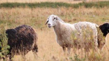 Ovce pasoucí se v horách. — Stock video