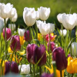 Field of multi colored tulips - Stock Photo