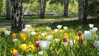 在字段中大新鲜郁金香 — 图库视频影像