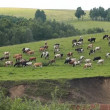 The Cows on green field. - Stock Photo