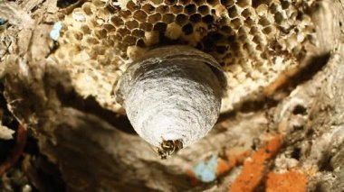 Wasp building nest. — Stock Video