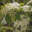 Flowery white blossom apple tree. - Stock Photo
