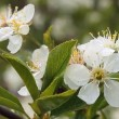 Flowery white blossom apple tree. — Stock Video