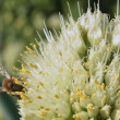 Bee on flower leek. — Stock Video #19475487