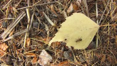 Yellow leaf and ants. — Stock Video