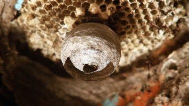 Wasp building nest — ストックビデオ