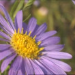 The Violet flowerses, swing on winds. — Stock Video