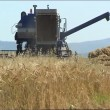 The Combine takes away the wheat. — Stock Video