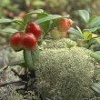 Royalty-Free Stock Vektorgrafik: Wild bunch of fresh cowberry in the forest.