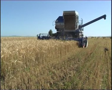 The Combine moves over wheat field. — Stock Video