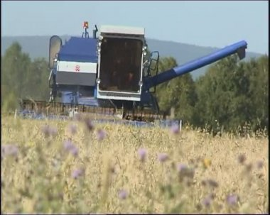 Combine harvesting ripened wheat — Stock Video