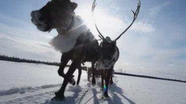 Running Reindeers — Stock Video