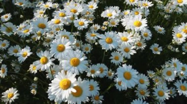 Daisy Field — Stock Video