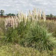 Pampas Grass — Stock Photo