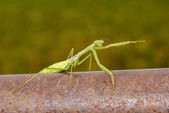 Praying Mantis Pointing — Stock Photo