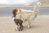 Llama and Young — Stock Photo