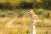Owl on a Fence — Stock Photo