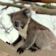 Stock Photo: KoalBear