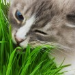 Cat chewing a grass — Stock Photo