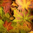 Stock Photo: Multi colored fallen autumn leaves background
