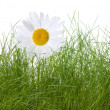Royalty-Free Stock Photo: Camomile and grass isolated on white background