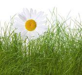 ромашки и трава, изолированные на белом фоне — Стоковое фото