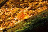 Autumn fall. yellow leaf on tree — Stock Photo