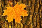 Autumn fall. yellow leaf on tree background — Stock Photo